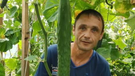 Белорусы принялись мериться огурцами. У жителя Калинковичей уже 72 сантиметра и продолжает расти