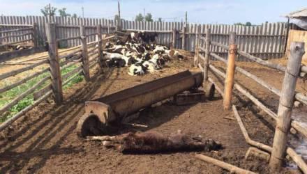 Гвалт вокруг двух павших телят в Жлобинском районе. Что произошло?