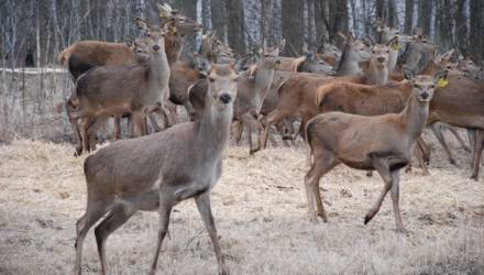 В Гомельском районе реализуется госпрограмма по восстановлению популяции оленей