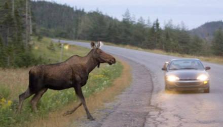 Супружеская пара, которая ехала на BMW в Гомель из Минска, сбила лося, затем на животное наехал житель Гомельской области
