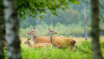 Под Гомелем олени охотно размножаются, а рысей отпугивают шумовыми пакетами