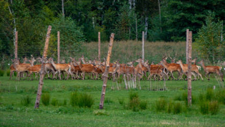 Стадо благородных оленей-иностранцев выпустили в лесные угодья Гомельщины
