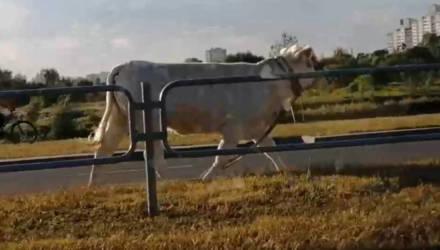 В Гомеле бык сбежал из кузова грузовика и выскочил на проезжую часть – видео