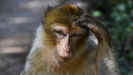 В Китае скрестили обезьяну и человека