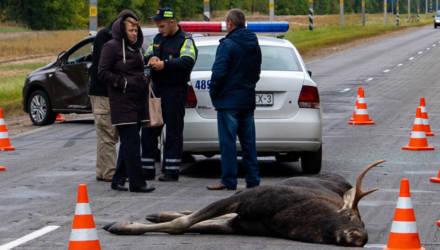 Под Светлогорском лось протаранил автомобиль
