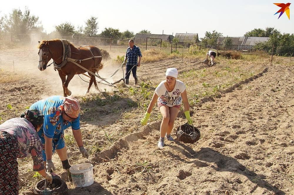 «Зимой это наш хлеб, а осенью – фитнес!» Фоторепортаж, как убирают картошку в деревне на Гомельщине