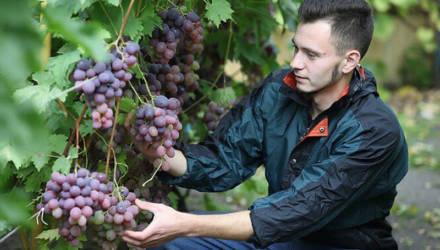 Семья Пухальских из Мозыря – о том, как на 10 сотках вырастить элитные сорта винограда, голубики, жимолости и крыжовника