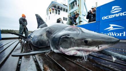 Огромную акулу весом 530 кг нашли мёртвой, но страшнее монстр, который убил её