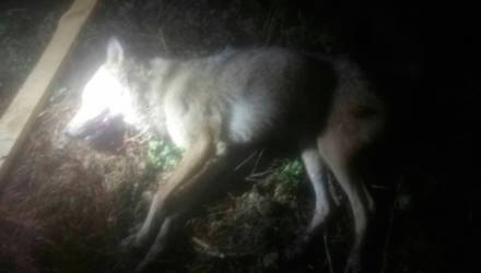 В деревне Ручаевка Лоевского района волчица покусала двоих местных жителей: оба ещё в больнице – подробности