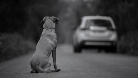 Сбивать нельзя сворачивать. Как вести себя, если под колёса выбежал пёс