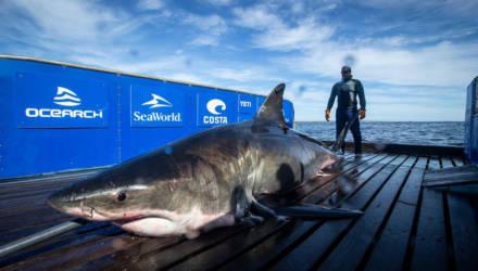 Пятиметровая акула-монстр весом под тонну повергла в шок даже исследователей