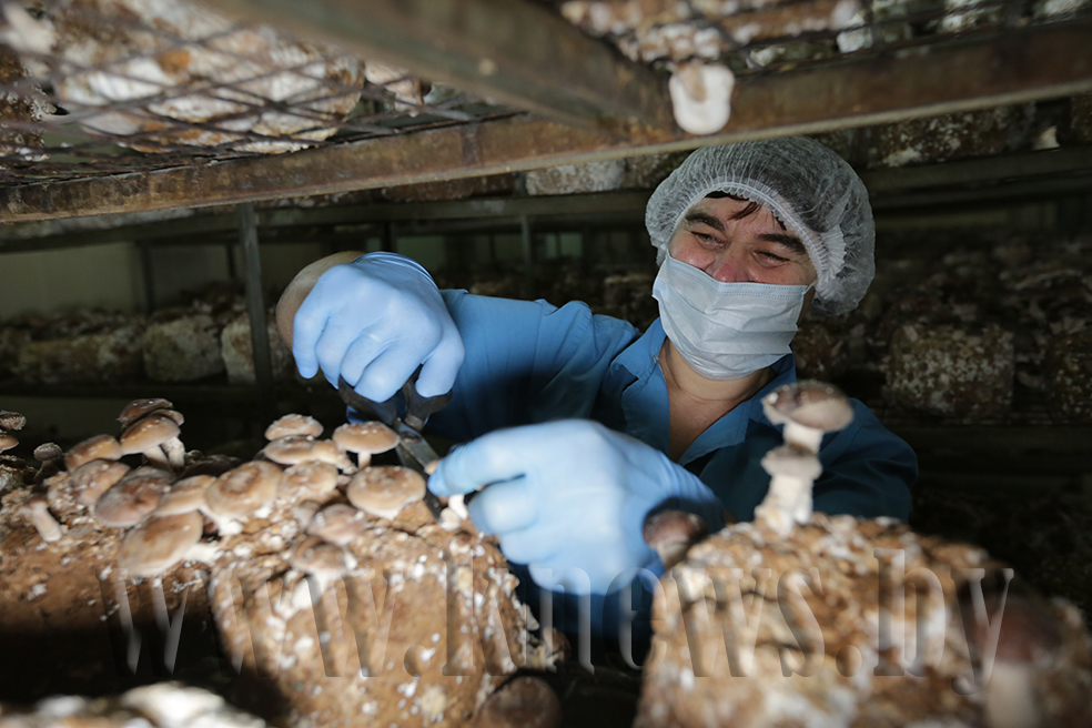 Панацея от всех болезней: Как на Гомельщине в Домановичах выращивают целебный японский гриб