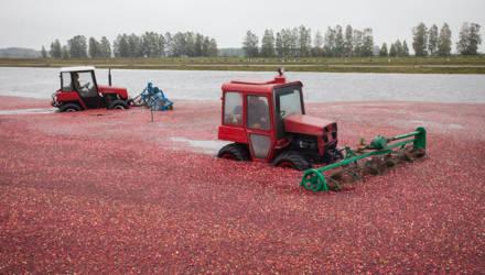 Море клюквы: как собирают ягоду на Полесье