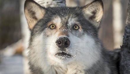 Белорусские пенсионеры отбились от бешеного волка петардами