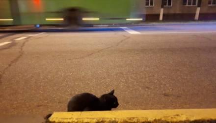 В Гомеле чёрный кот каждый вечер выходит на край проезжей части и сидит так часов пять, затем уходит