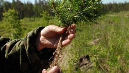 Недосаживали деревья и подделывали документы: прокуратура области выявила нарушения в лесничествах Гомельщины