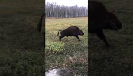 Копытом за рог: зубр попал в неловкую ситуацию в Беловежской пуще – видео