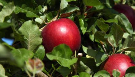 В США начали продавать яблоки, которые могут пролежать в холодильнике год и не испортиться