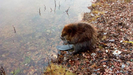В Гомеле на Любенском озере замечен молодой бобёр