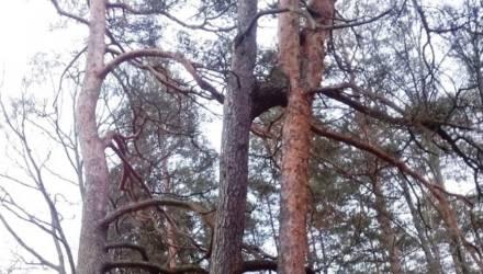 """В Нацпарке """"Беловежская пуща"""" обнаружено редчайшее природное явление"""
