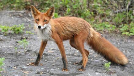 Чечерск закрыли на карантин из-за бешеной лисы