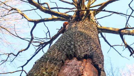 На Гомельщине есть 400-летний дуб, исполняющий желания