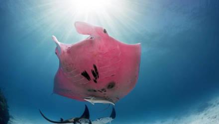 Австралийский фотограф снял единственного в мире розового ската