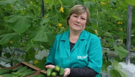 Огурцы нового урожая КСУП «Тепличное» под Гомелем получили уже в первой декаде февраля