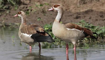 Египетского гуся впервые заметили в Беларуси