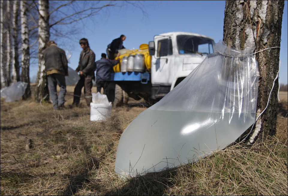 Лесхозы Гомельской области открыли сезон заготовки берёзового сока