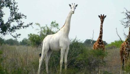 В Кении убили двух белых жирафов. В мире остался только один жираф этого вида