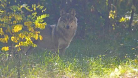 Чернобыльские волки осмелели без людей и вышли на охоту днём