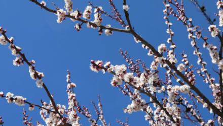 Фотофакт: в Гомеле цветут абрикосы