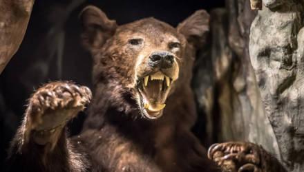 В гибели пещерных медведей обвинили их чрезмерно большой нос