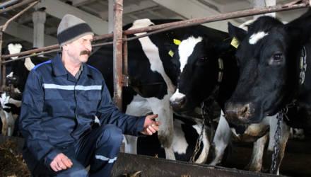 Один из лучших дояров в Гомельском районе Игорь Титоренко добывает в день 25–30 килограммов молока от одной коровы