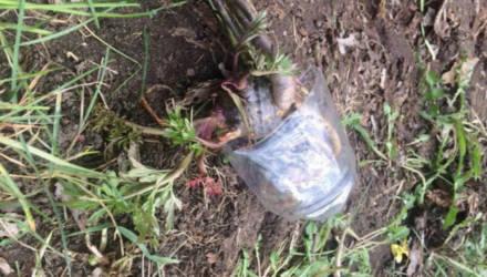 Думал, что съедобное. Белорус накормил 10-летнюю племянницу смертельно ядовитым растением и съел сам – спасти их не удалось