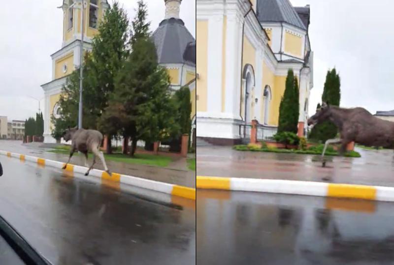 """""""Природа настолько очистилась..."""" Дикий лось устроил пробежку по центральной улице Речицы"""