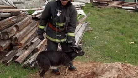 В Светлогорске козлёнок упал в колодец: понадобилась помощь спасателей
