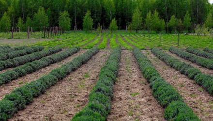 А там ещё немного… и Прованс. Семейное фермерское хозяйство выращивает на Ветковщине лаванду