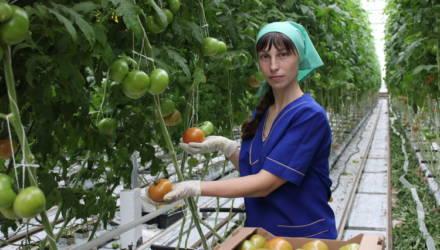 Сеньор Помидор: витамины на вашем столе от КСУП «Брилево»