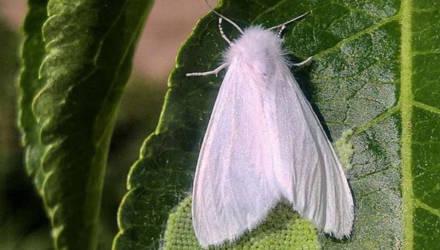 На Гомельщине появилась американская белая бабочка – опасный вредитель