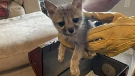 Семья спасла крошечного лисёнка, который решил, что их собака — это его мама