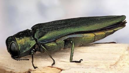 Учёные предупреждают о вторжении в Беларусь чужеродного жука-вредителя