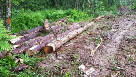 В Мозырском районе незаконно вырубили более 200 деревьев - возбуждено уголовное дело