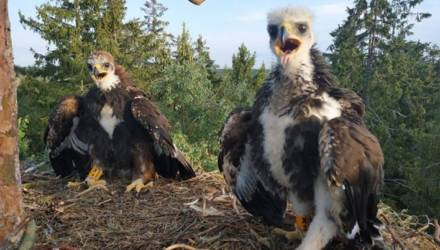 Гнездо с птенцами беркута впервые за 9 лет обнаружено в Беларуси