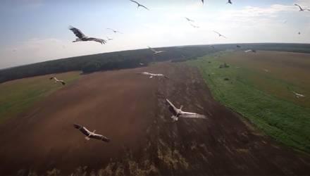 Белорус подружил аистов со своим дроном и снял эпичное видео их полёта – подробности