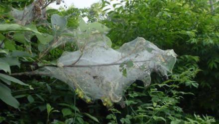 В Гомельской области обнаружен опасный карантинный вредитель Hyphantria cunea Drury