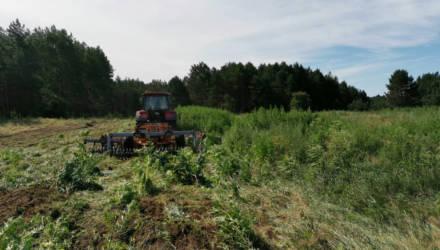 В Калинковичском районе уничтожено почти две тонны конопли