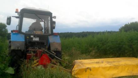 В Буда-Кошелёвском районе уничтожили полгектара конопли