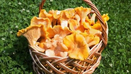 Сезон лисичек: чем полезны грибы и почему их нужно добавить в рацион?